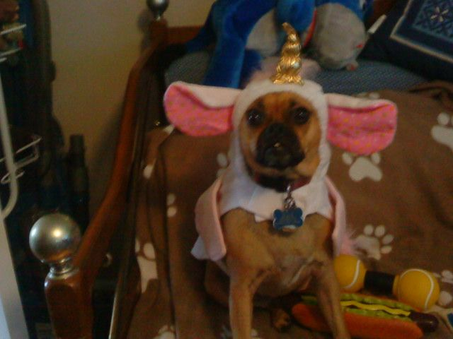 Belle my Puggle dress as an Unicorn